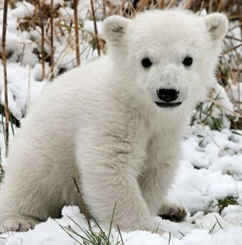 Bears - Polar 07