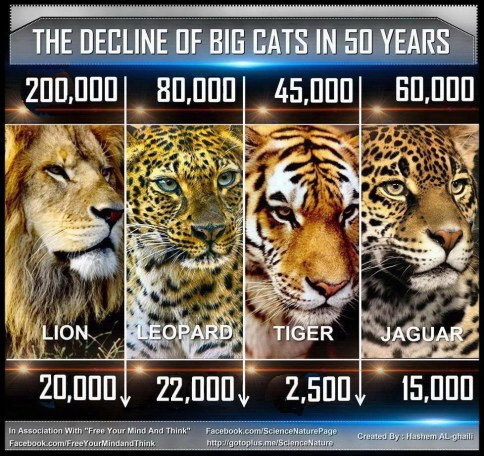 Big cats - Decline in numbers