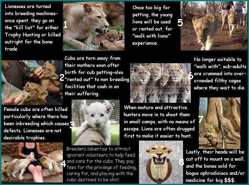 Canned hunting – Lions life cycle   END Trophy Hunting NOW