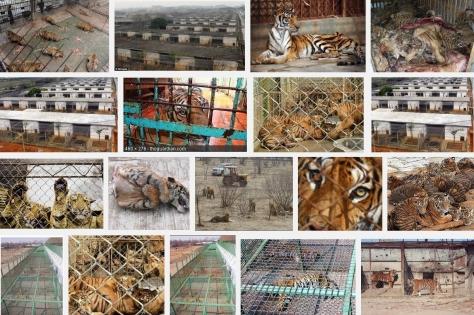 Big cats - Tiger farms