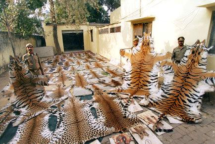 Big cats - Tiger skins