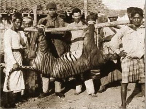 Big cats - Tiger, the only known photograph of a Balinese tiger