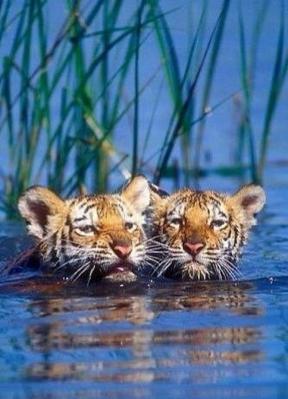 Big cats - Tigers Beautiful 05