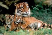 Big cats - Tigers Beautiful 06