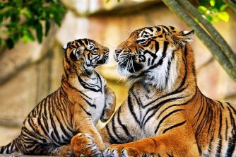 Big cats - Tigers Beautiful 14