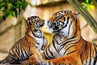 Big cats - Tigers Beautiful 14