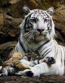 Big cats - Tigers Beautiful 16