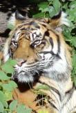 Big cats - Tigers Beautiful 20