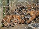 Big cats - Tigers farmed in China 03