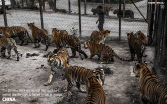 Big cats - Tigers farmed in China 04