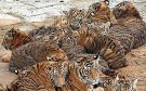 Big cats - Tigers farmed in China 06