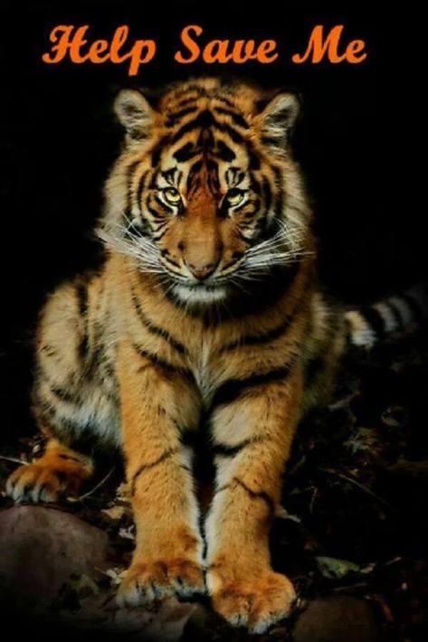 Big cats - Tigers help save me