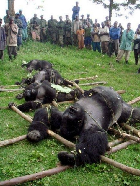 Gorillas 01