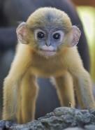 Monkeys - 01 Dusky Lungur