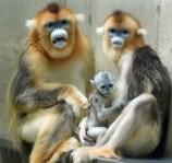 Monkeys - 04 Golden snub-nosed monkey
