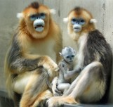 Monkeys - 04 Golden snub-nosed monkey