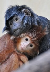 Monkeys - 06 Japanese Langur