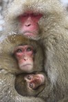 Monkeys - 07 Japanese snow monkeys