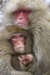 Monkeys - 07 Japanese snow monkeys