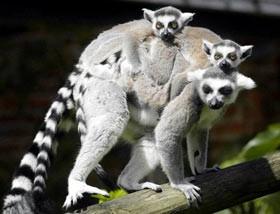 Monkeys - 09 Lemur