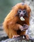 Monkeys - 10 Golden Lion Tamarind