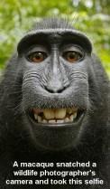 Monkeys - 12 Macaque self portrait