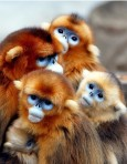 Monkeys - 14 African snub-nosed monkeys