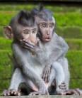 Monkeys - 15 Macaques