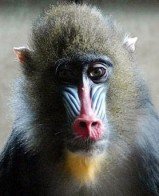 Monkeys - 16 Mandrill
