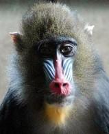 Monkeys - 16 Mandrill