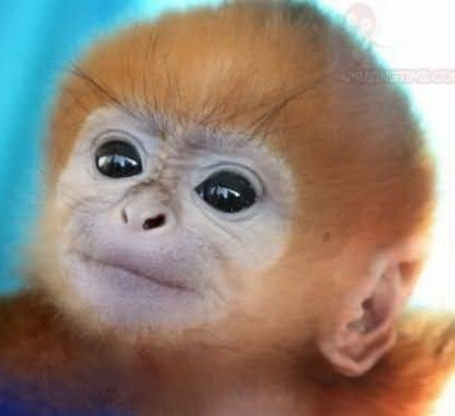Monkeys 17 cute baby golden lion tamarin end trophy hunting now monkeys 17 cute baby golden lion tamarin voltagebd Image collections