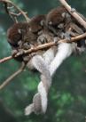 Monkeys - 18 Monkeys - Three in row tail hug