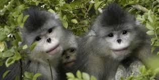 Monkeys - 36 Yunnan Golden Monkeys