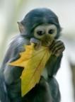 Monkeys - 37 White shadow monkey