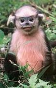 Monkeys - 38 nature-fauna-mammals-primates-tonkin-snub-nosed-monkey