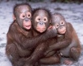 Monkeys - 39 Orangutans