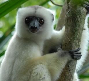 Monkeys - 42 Silky Safaka - endangered