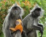 Monkeys - 45 Silver leaf monkeys