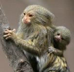 Monkeys - 46 Twin-Pygmy-Marmosets-Thriving-at-Belfast-Zoo-412766-2
