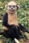 Monkeys - 48 Tonkin snub-nosed monkey 2
