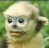 Monkeys - 49 Tonkin snub-nosed monkey