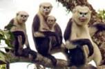 Monkeys - 50 Tonkin snub-nosed monkeys