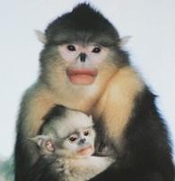 Monkeys - 51 Yunnan snub-nosed monkey