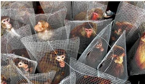 Monkeys - Caged