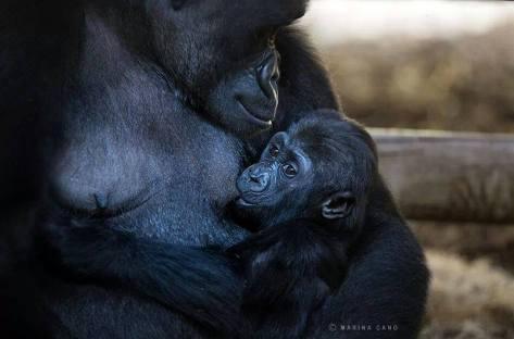 Monkeys - Gorilla