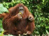 Monkeys - Orangutan 1