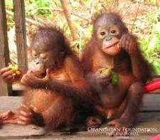 Monkeys - Orangutan babies
