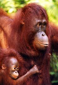 Monkeys - Orangutan mother and baby 1
