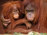 Monkeys - Orangutan mother and baby 2