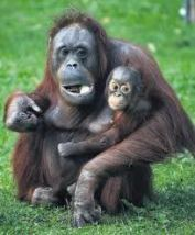 Monkeys - Orangutan mother and baby 3